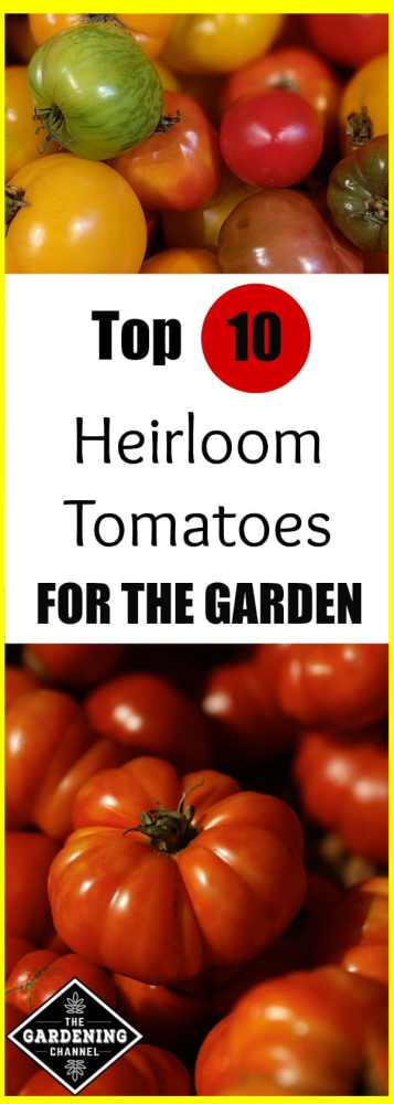 assorted heirloom tomatoes beefsteak heirloom tomatoes with text overlay top 10 heirloom tomatoes for the garden
