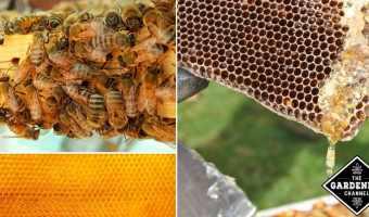 Raising Honeybees for Beginners