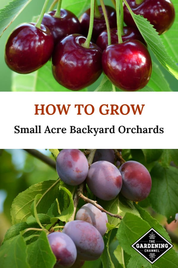 cherry tree and plum tree with text overlay how to grow small acre backyard orchards