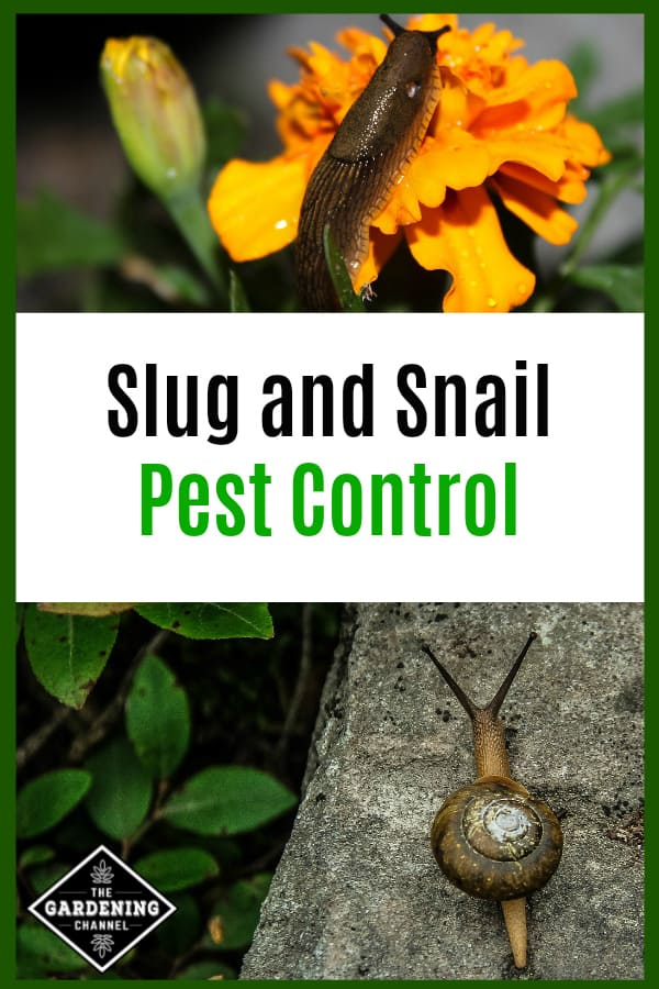 slug on marigold and snail on garden rock with text overlay slug and snail pest control