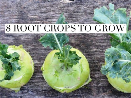 Root Crops to Grow in Home Garden