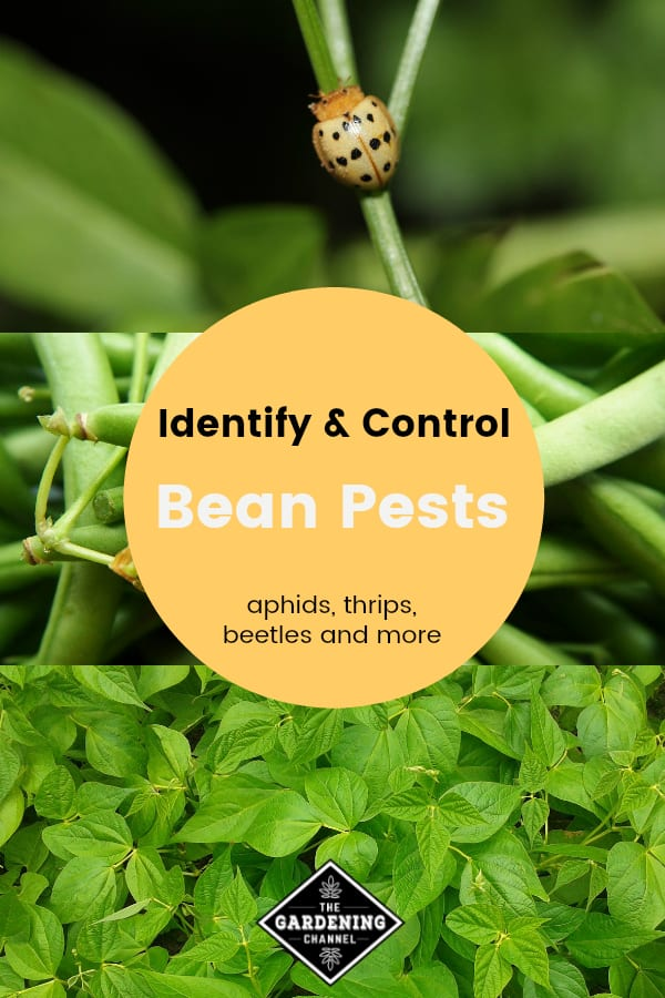 Bean Pests: How to Identify and Control - Gardening Channel