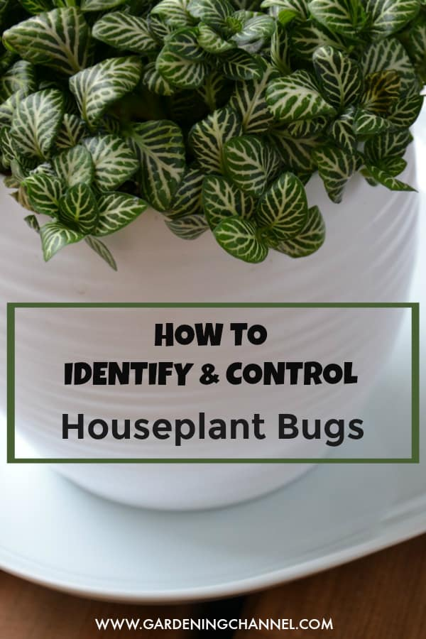 fittonia houseplant with text overlay how to identify and control houseplant bugs