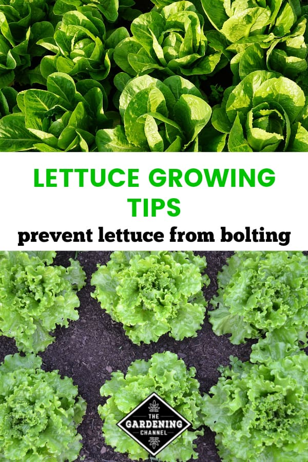lettuce growing in garden with text overlay lettuce growing tips prevent lettuce from bolting