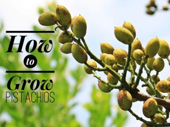 Growing Pistachios