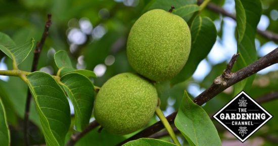 growing walnut trees