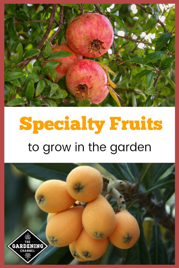 pomegranate and loquat growing with text overlay specialty fruits to grow in the garden