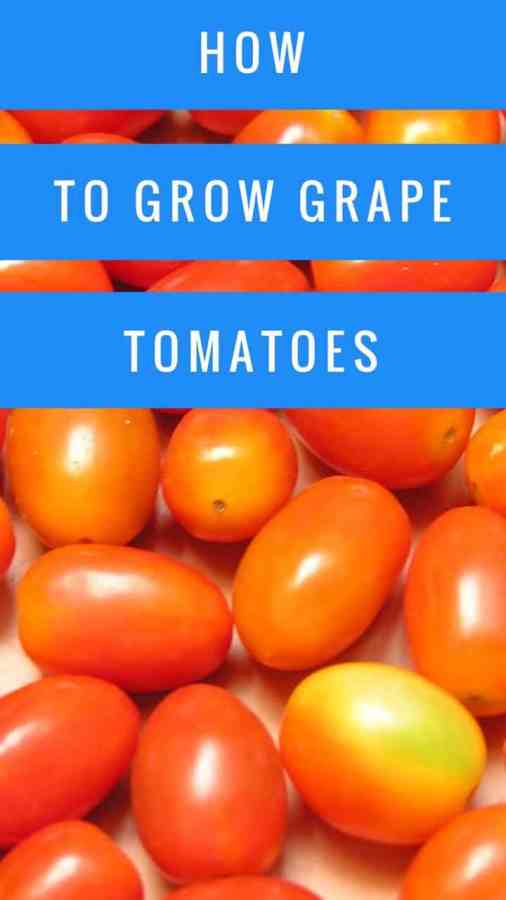 Learn to grow grape tomatoes successfully
