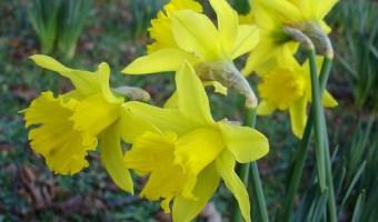 Care for Spring Flowering Bulbs