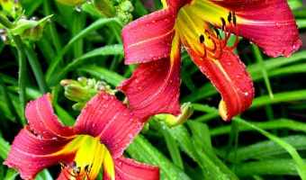 Care for Summer Bulbs