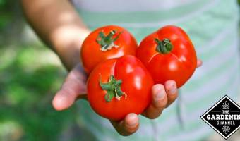 child holding three better boy tomatoes harvested from garden