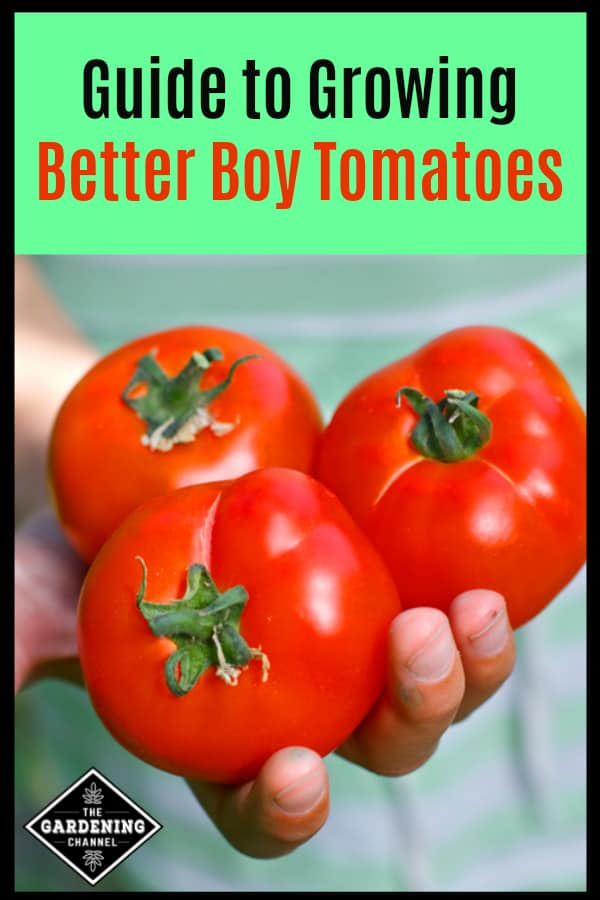 childs hand holding three better boy tomatoes from the garden with text overlay guide to growing better boy tomatoes