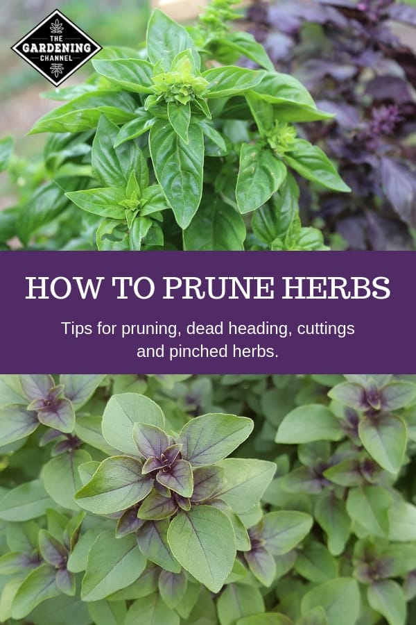 basil to prune and text overlay how to prune herbs tips for pruning dead heading cuttings and pinched herbs