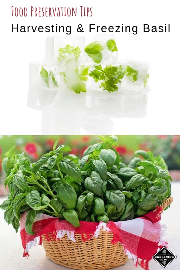 herb ice cubes and harvested basil with text overlay food preservation tips harvesting and freezing basil