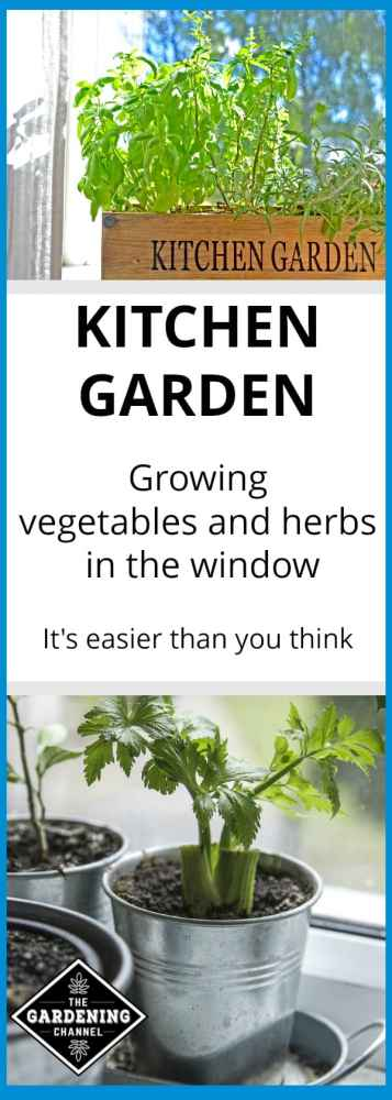 kitchen garden of herbs and celery in window with text overlay of kitchen garden growing vegetables and herbs in the window