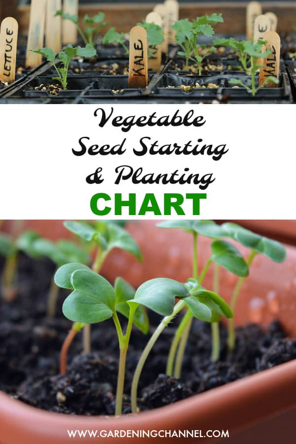 starter kale seedlings and radish seedlings with text overlay vegetable seed starting and planting chart
