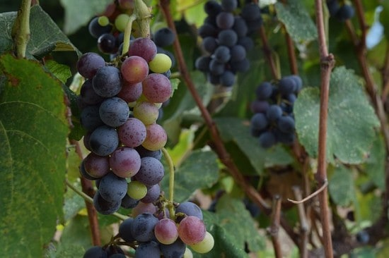 Growing Wine Grapes in Home Garden