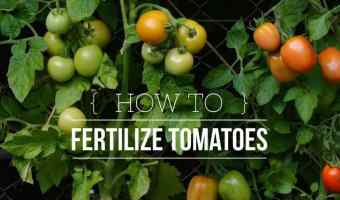 Fertilizing Tomatoes