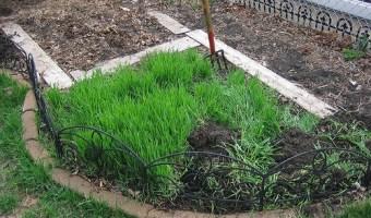 Cover Crops for the Backyard Garden