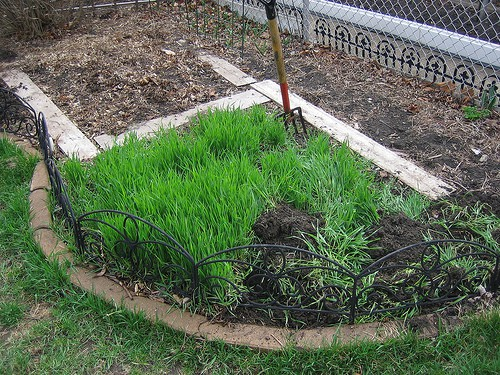 cover crops for the backyard garden