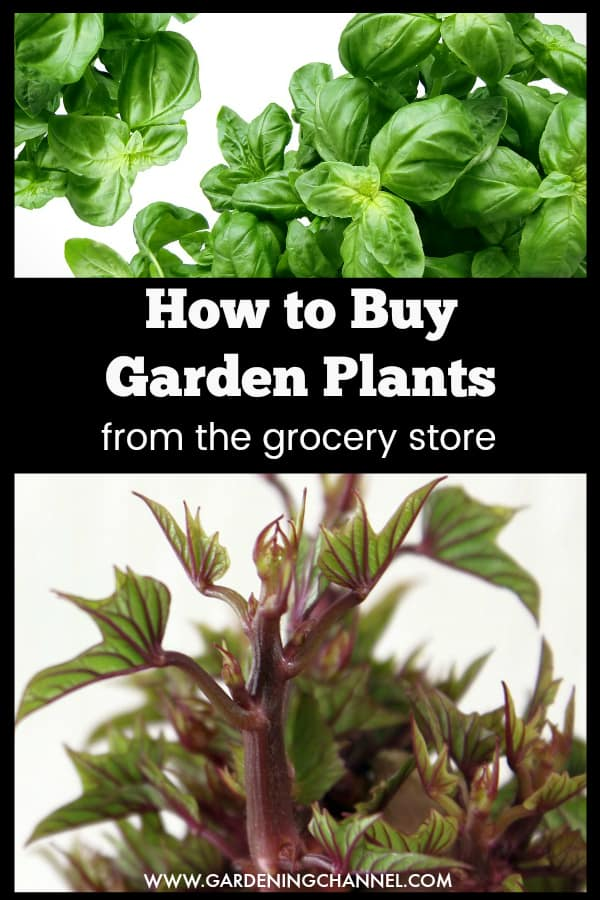 basil plants and sprouted potato with text overlay how to buy garden plants from the grocery store