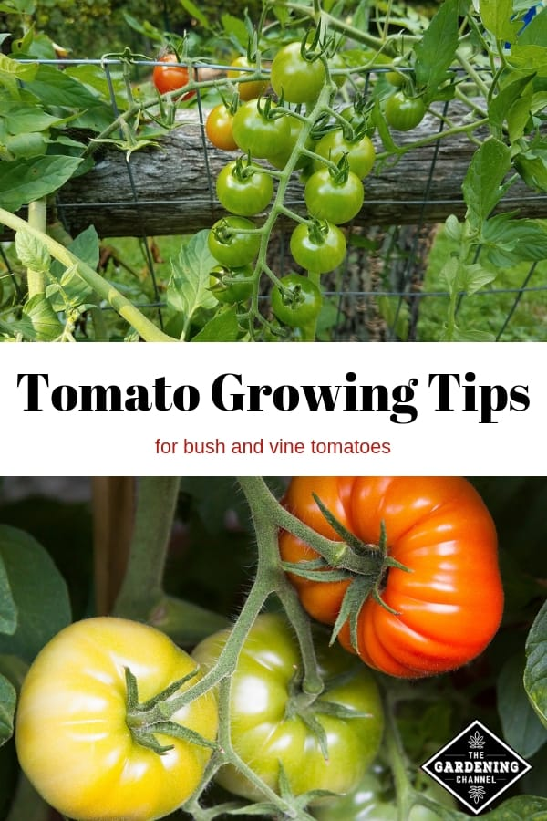 vine tomatoes and bush tomatoes with text overlay tomato growing tips for bush and vine tomatoes