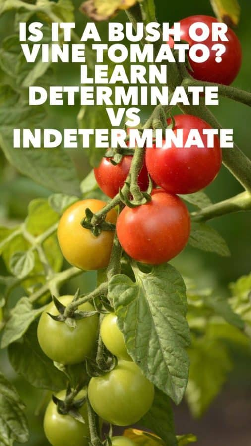 explain bush vs vine tomatoes indeterminate vs determinate
