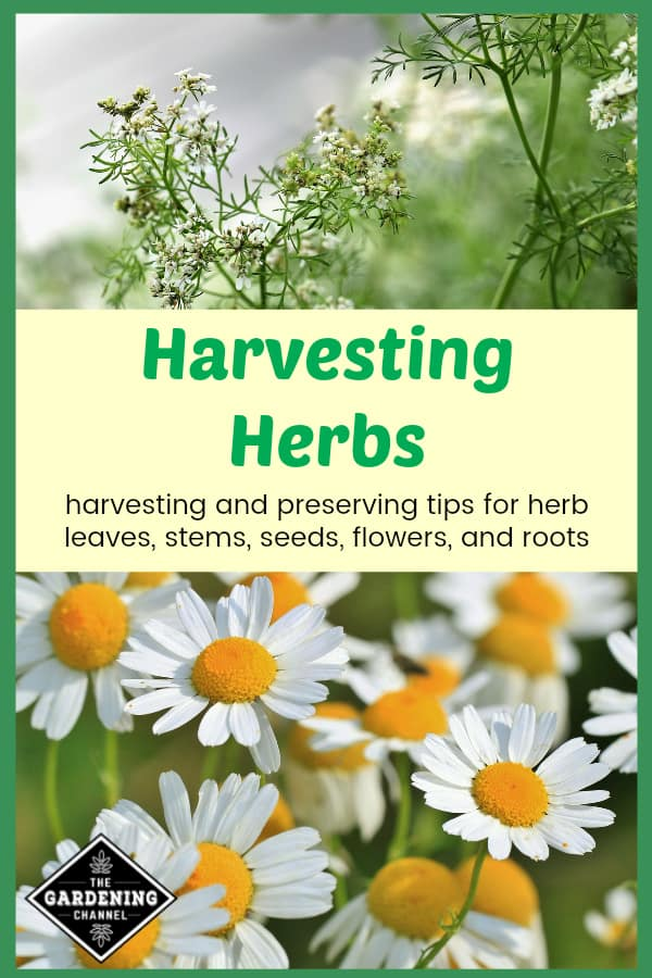 coriander and chamomile with text overlay harvesting herbs harvesting and preserving tips for herb leaves, stems, seeds, flowers and roots