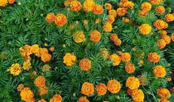 planting fall marigolds