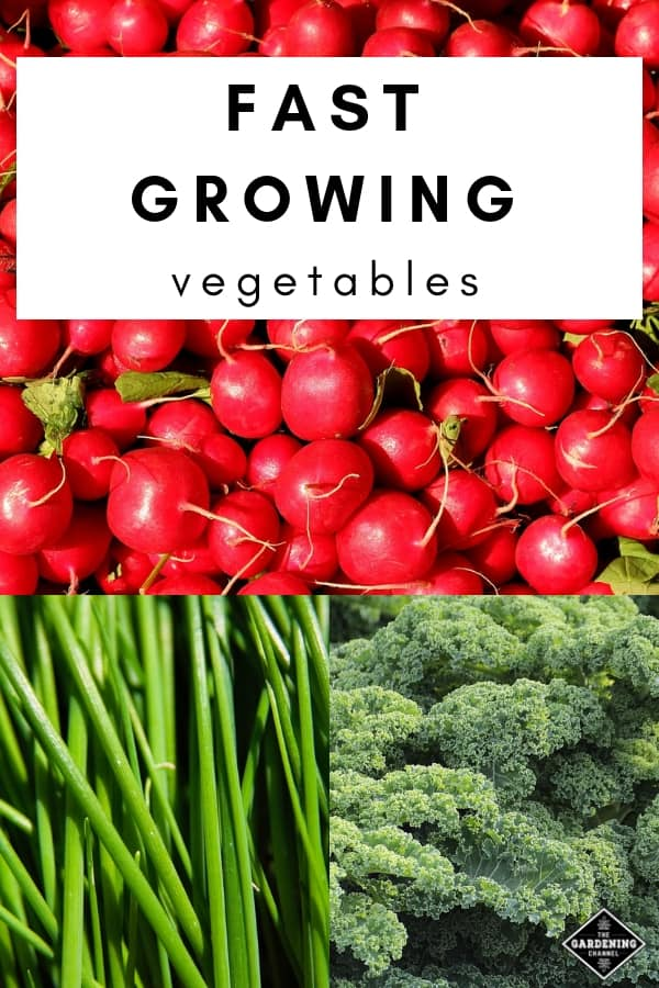 radishes chives and kale with text overlay fast growing vegetables