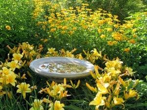 ways to grow daylilies