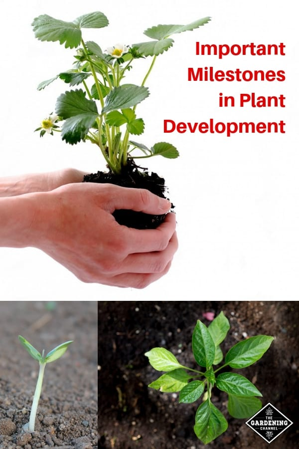 plant seedling growth stages with text overlay important milestones in plant development