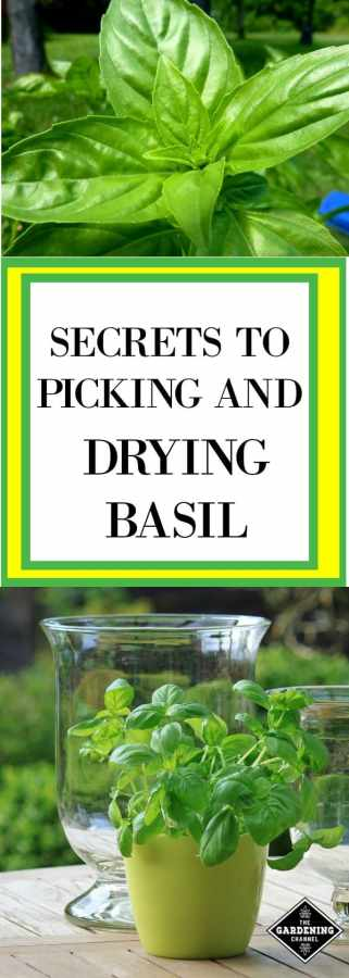 drying basil
