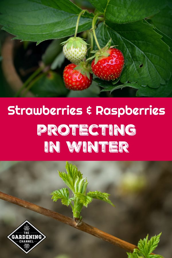 strawberries in container and raspberry bush with text overlay strawberries and raspberries protecting in winter
