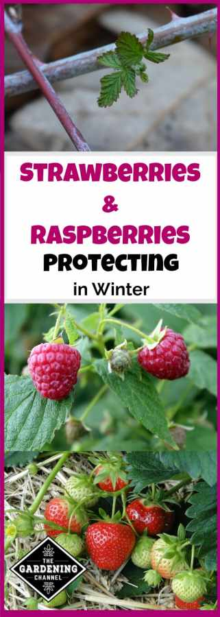 overwinter strawberries and raspberries