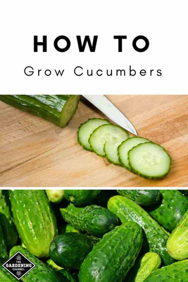 cucumbers on cutting board and harvested cucumbers with text overlay how to grow cucumbers
