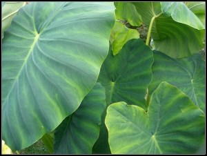 When to plant elephant ears