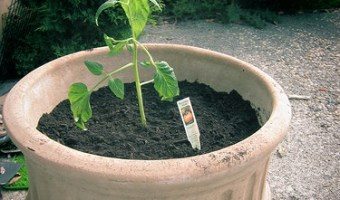 Growing Tomatoes in Pots: Best Varieties