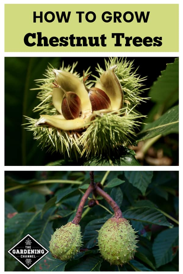 chestnuts growing on trees with text overlay how to grow chestnut trees