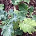 small kale plant