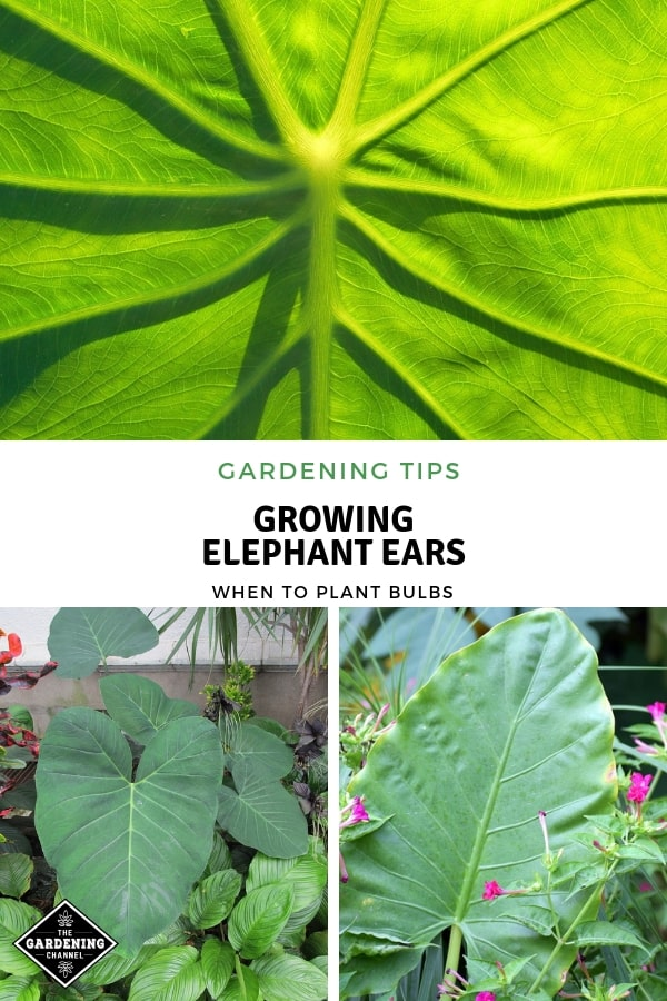 elephant ear leaf taro in flower bed with text overlay gardening tips growing elephant ears when to plant bulbs