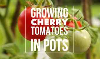 Best Varieties for Growing Cherry Tomatoes in Pots