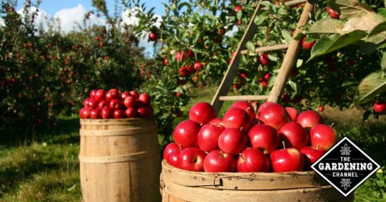 Guide to Pruning Apple Trees