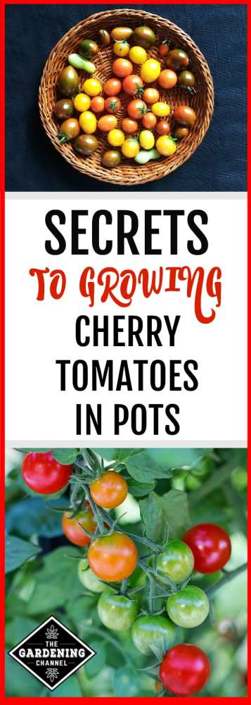 Cherry tomatoes, with their compact growth, small fruit and early harvest times are a perfect variety to try growing on a patio in a container. Read on to learn everything you need to know about growing cherry tomatoes in pots.