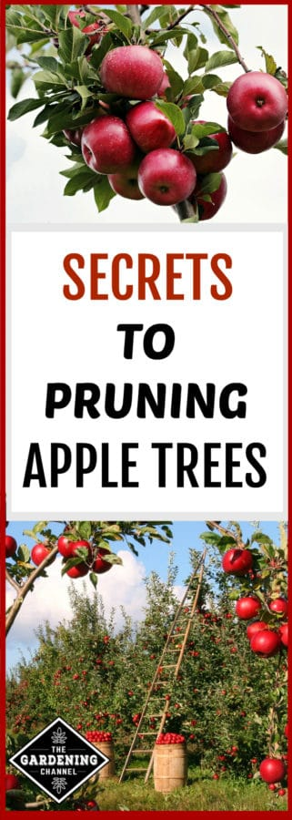 what you need to know to prune apple trees
