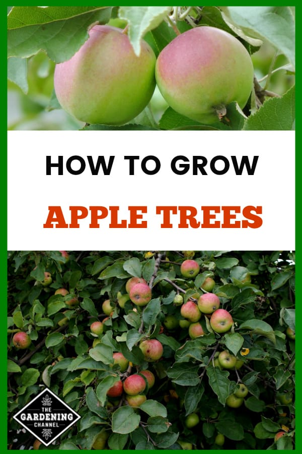 close up apples and apple tree with text overlay how to grow apples