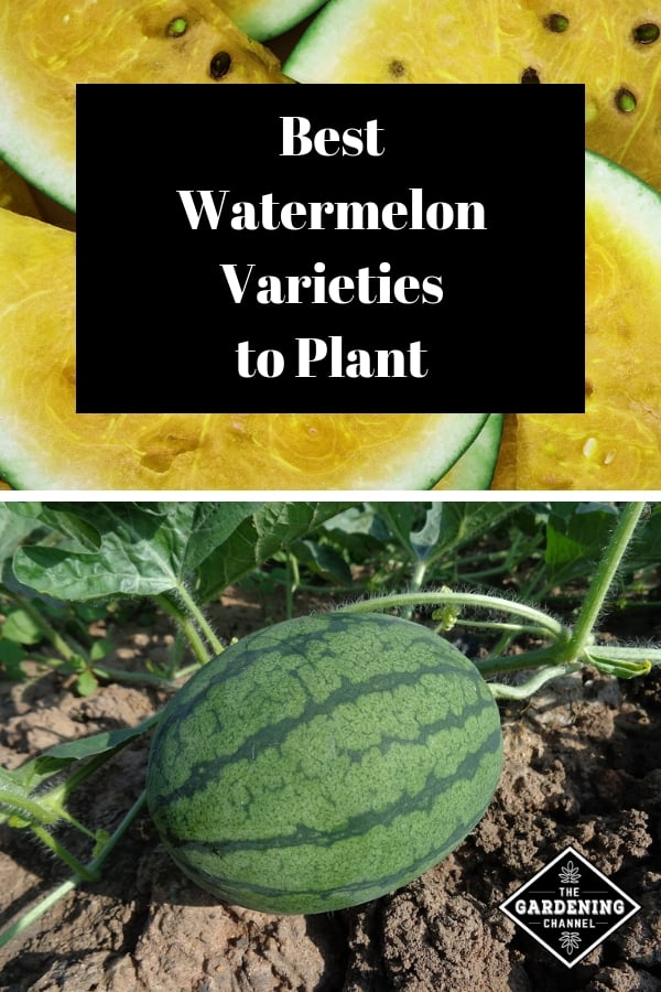 yellow seeded watermelon and watermelon in garden with text overlay best watermelon varieties to plant