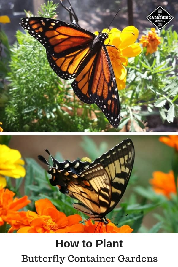 butterfly on marigold and butterfly on container flower with text overlay how to plant butterfly container gardens