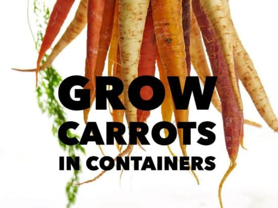 Growing Carrots in Gardening Containers
