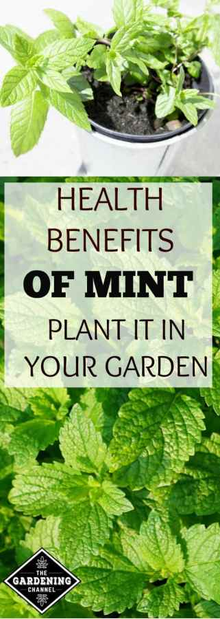 Grow mint in your garden